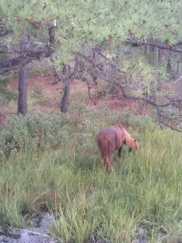 Wild pony grazing, Assateague Island thumbnail