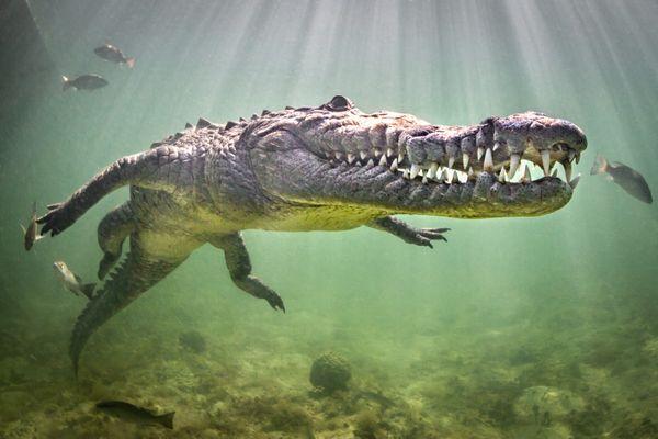 American Crocodile thumbnail