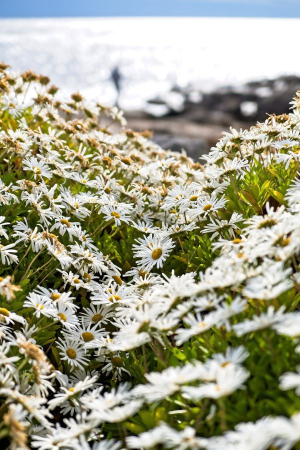 Daisies by the ocean thumbnail