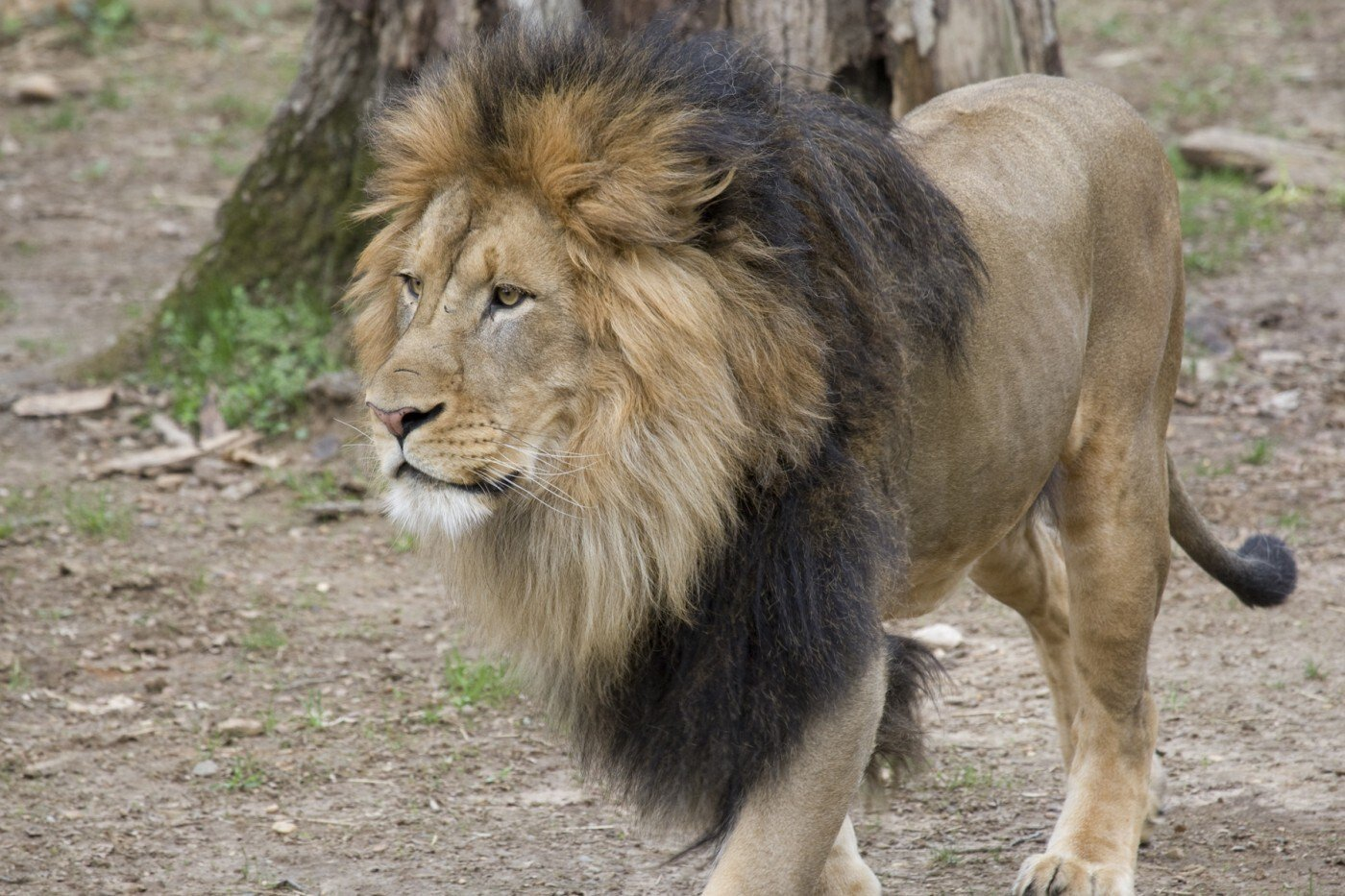 Lions and Tigers at the Smithsonian's National Zoo Test Positive for Covid-19