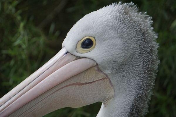 A Patient Australian Pelican thumbnail