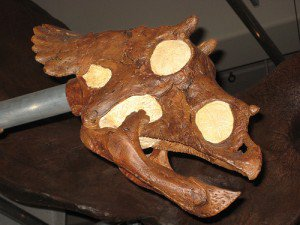 20110520083134baby-triceratops-skull-300x225.jpg