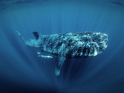A photo of a whale shark, taken by a visitor during a Ceviche Tour swim in Isla Mujeres.