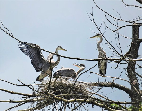 Juvenile Great Blue Herons in the nest thumbnail