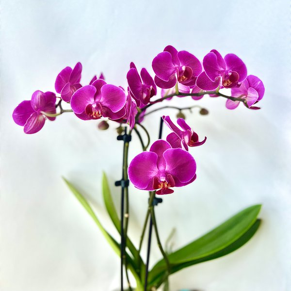 phalaenopsis thumbnail