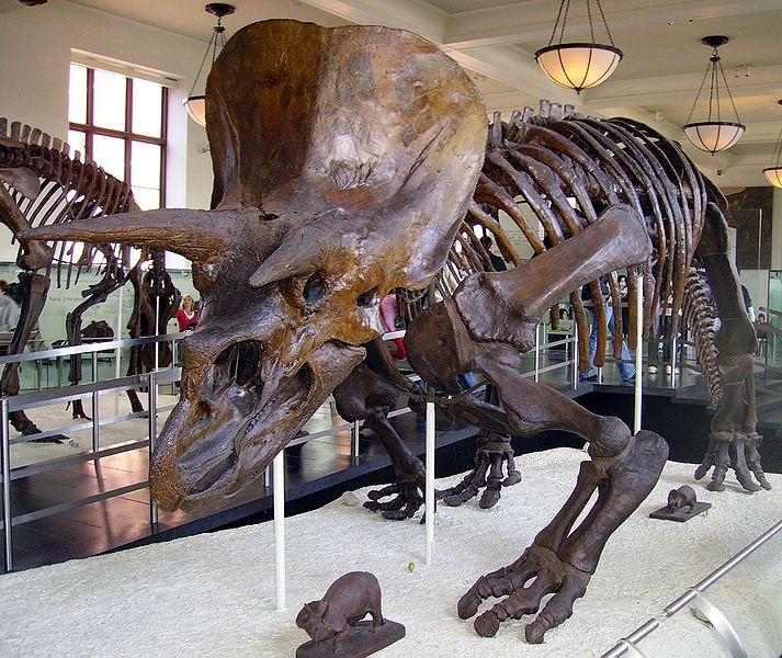 20110520083233713px-Triceratops_AMNH_01.jpg