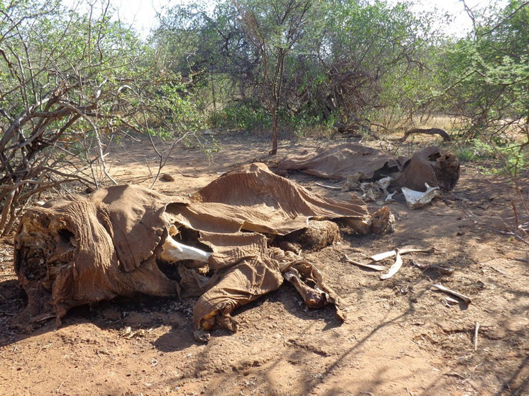 The remains of two adult elephants whose faces have been hacked off by poachers who killed the animals for their tusks. Photo: Chris Leadisimo