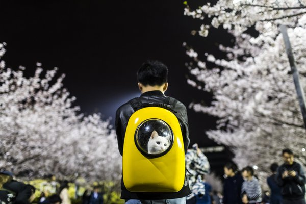 A man carries his pet cat as he walks under the cherry blossoms at Tongji University in Shanghai, China April 4, 2017.