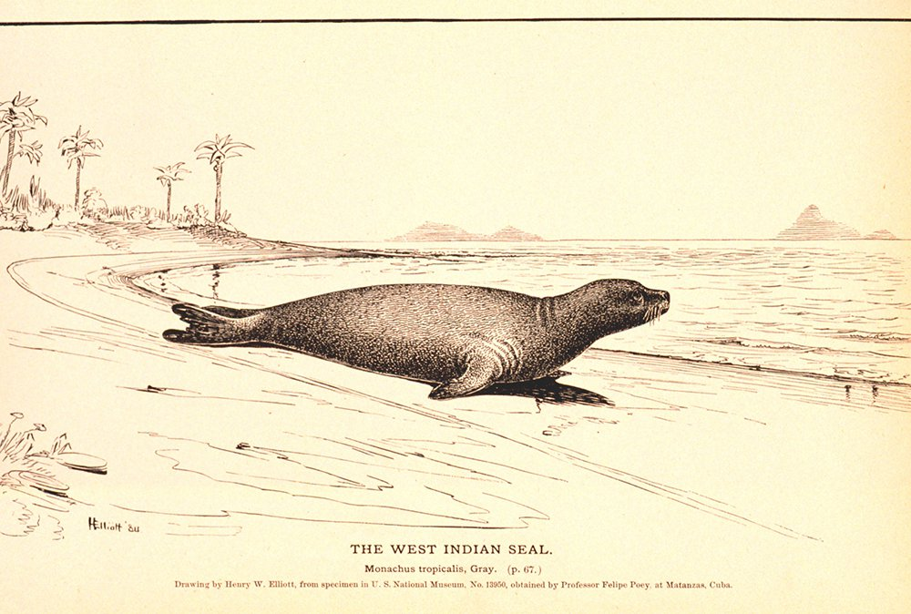 Caribbean monk seal sketch
