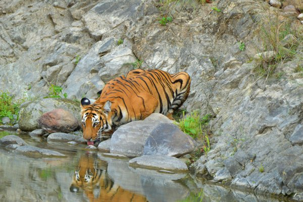 Tigress quenching thirst thumbnail