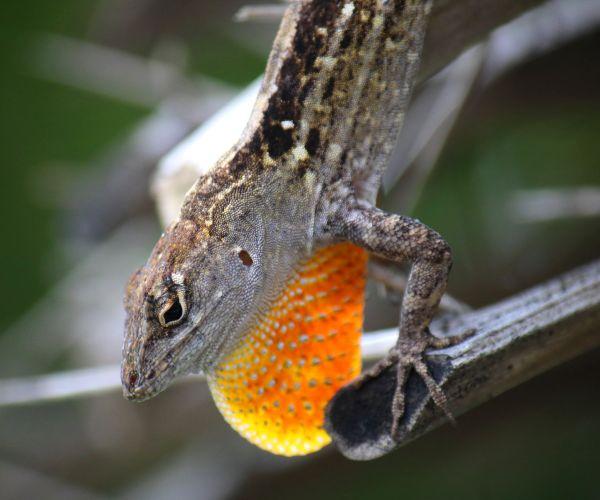 Saw this gecko while bird watching thumbnail