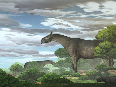 Based on the size of the skull, the research team also found that the rhino had a long thick neck, a short trunk similar to that of a modern-day tapir, and a deeper nasal cavity.