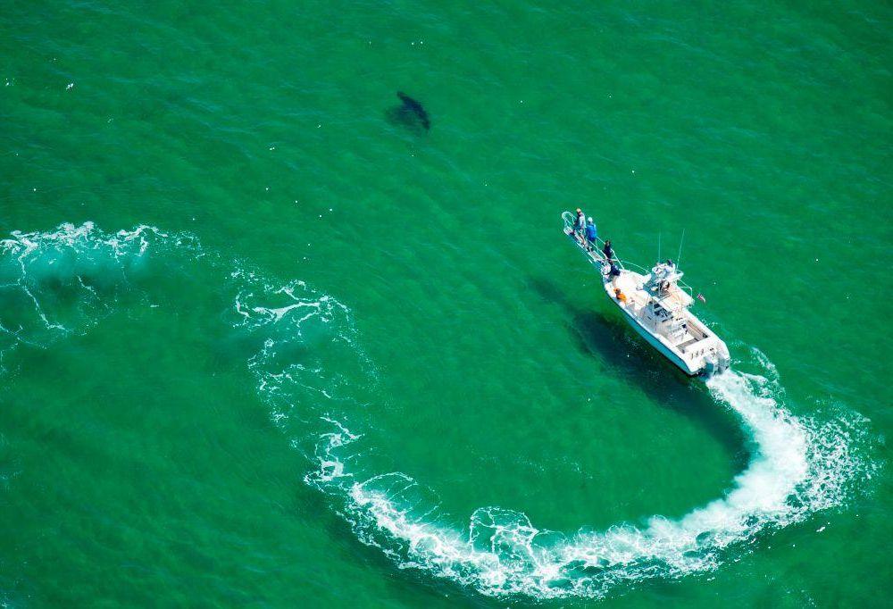great white shark in Cape Cod