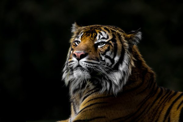 Young tiger resting.