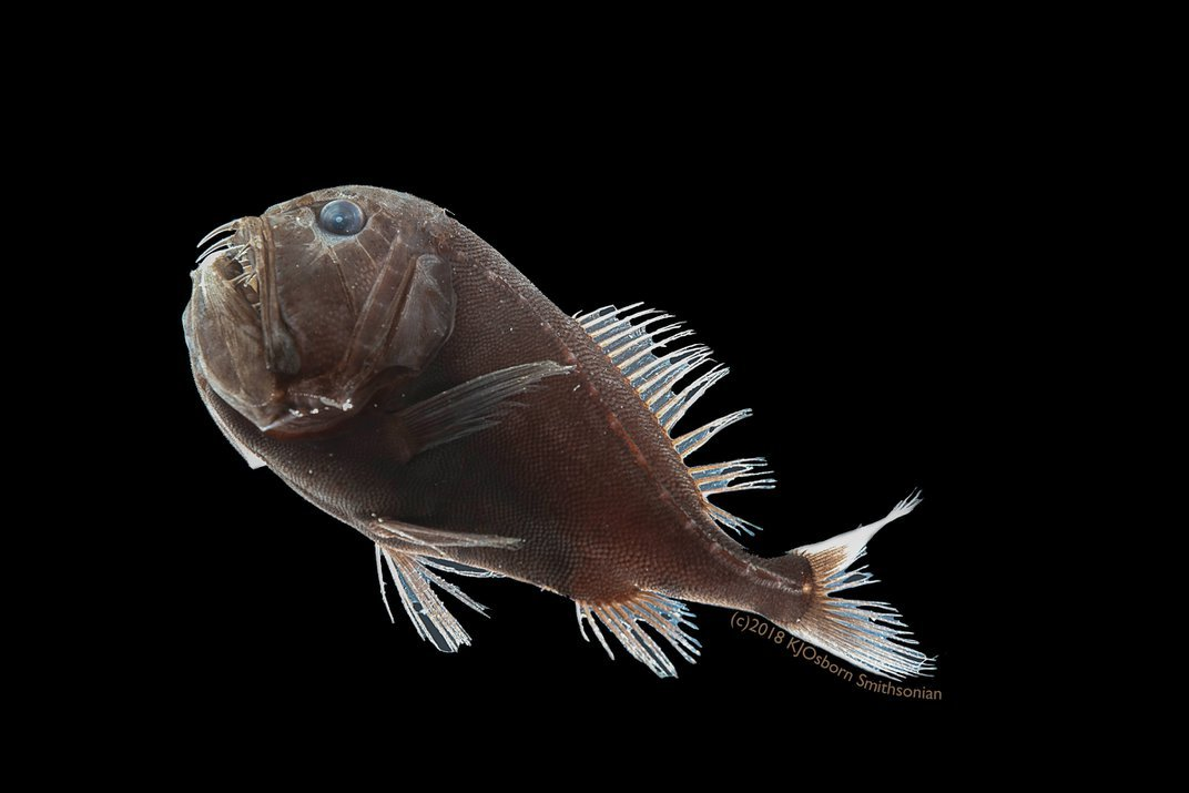 Elusive, Ultra-Black Fish Are Cloaked to Survive in the Deep Ocean