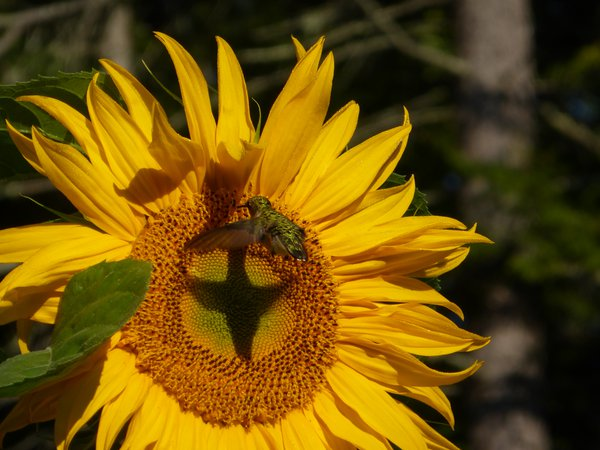 Hummingbird at sunflower thumbnail