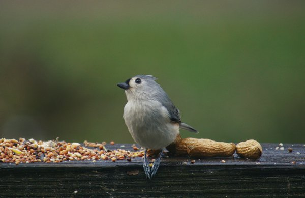 Tufted Titmouse thumbnail