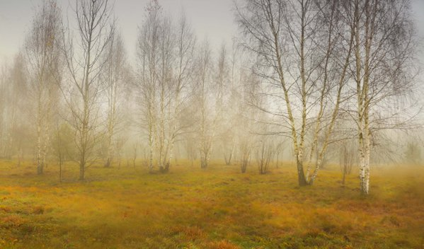Birches in October thumbnail