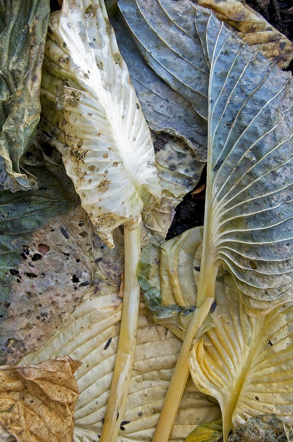 White and Blue Wilted Hosta Leaves thumbnail
