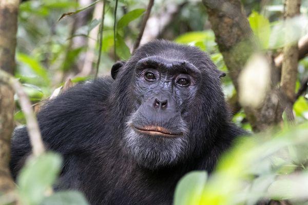 Chimpanzee Connection thumbnail