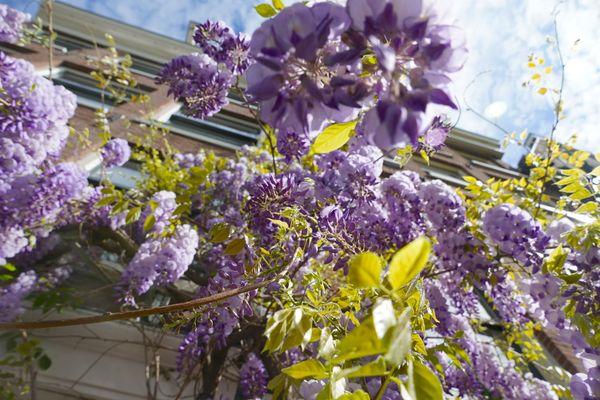 Lilac Patio thumbnail