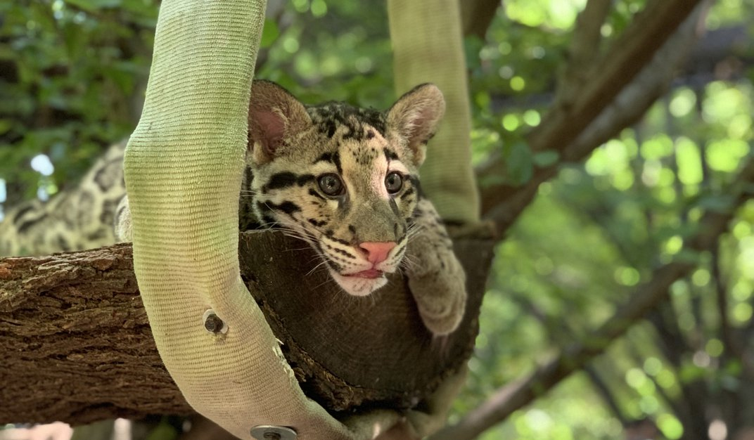 Clouded leopard cub Paitoon rests on a platform made of a split log suspended from a tree with a piece of recycled fire hose