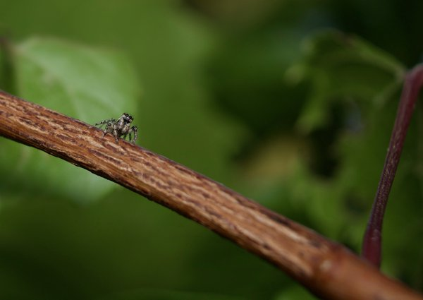 A Jumping Spider Rests on a Tree Branch thumbnail
