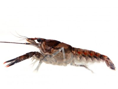 While observing the crayfish, the research team saw that the crustaceans exposed to low levels of the antidepressant were more adventurous and twice more likely to pop out of their shelters and explore their surroundings.