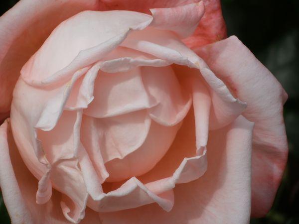 Soft Pink Rose  thumbnail