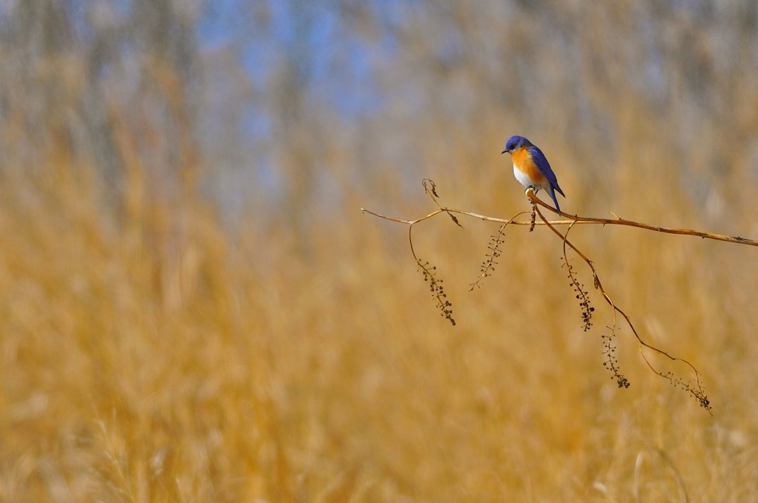 An eastern bluebird perched on a pokeweed branch in a warm-season grass field.