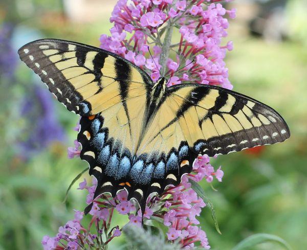 Lady Swallowtail thumbnail