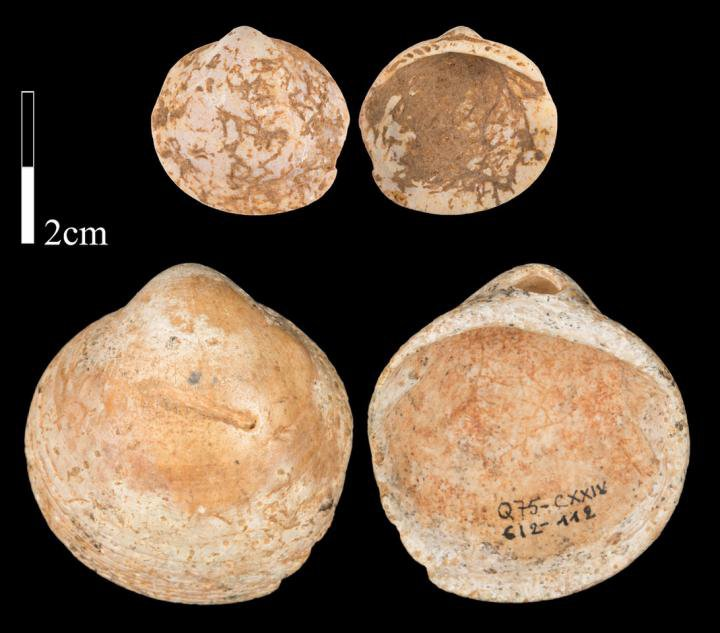 Shells from Qafzeh Cave, Israel