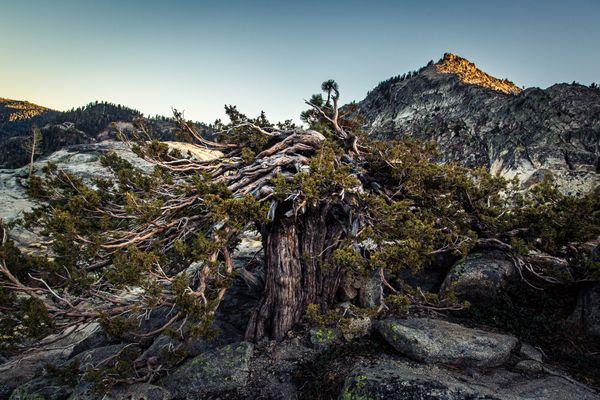A gnarly tree at Donner Pass thumbnail