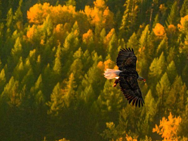 Bald Eagle Fall Flight 1 thumbnail
