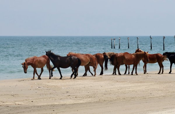 Wild Colonial Spanish Mustangs, Outer Banks, NC  thumbnail