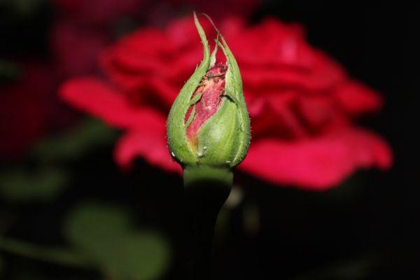 Budding Rose thumbnail