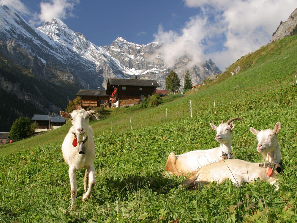 gimmelwald-goats-steves.JPG