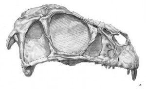 20110520083213Incisivosaurus-skull-300x184.jpg