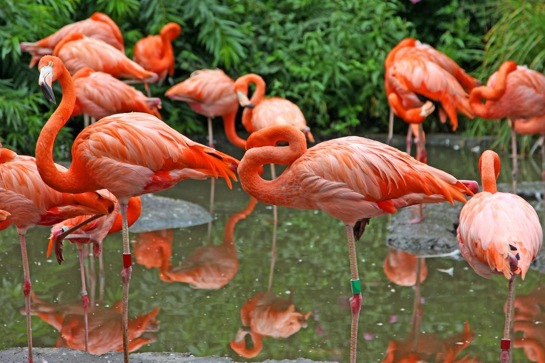 Ask Smithsonian: Why Do Flamingos Stand on One Leg?