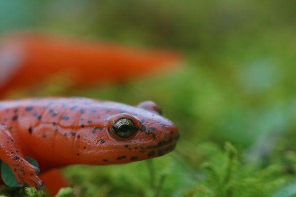 A Red Salamander Portrait thumbnail