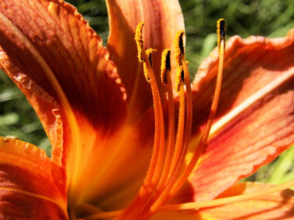 The stamens of the Orange Day Lilly are covered with pollen as this bloom growns wild in a group of flowers in a ditch. thumbnail