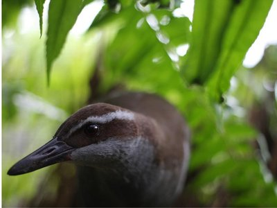 After being one step away from extinct, the Guam rail has made a comeback and is now classified as critically endangered. It is only the second time in history that a bird species has recovered from being extinct in the wild.