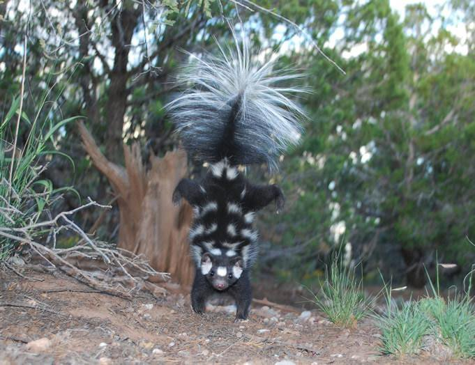 Spotted Skunk Doing A Handstand
