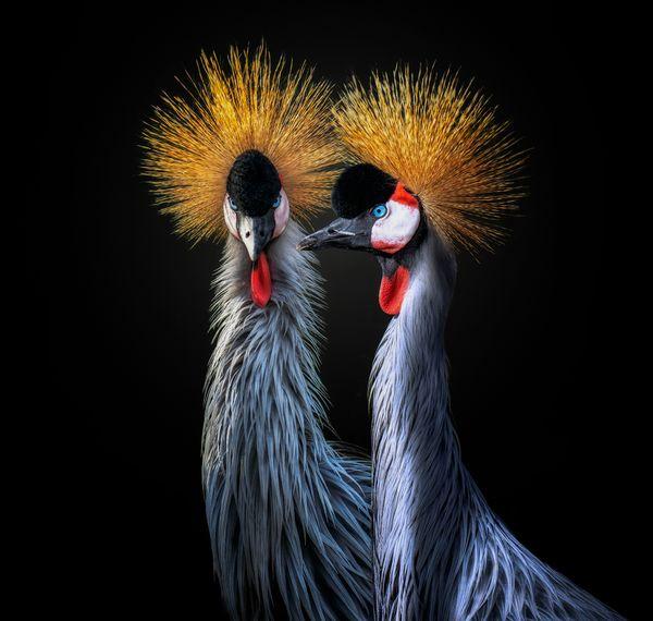 Grey crowned cranes thumbnail