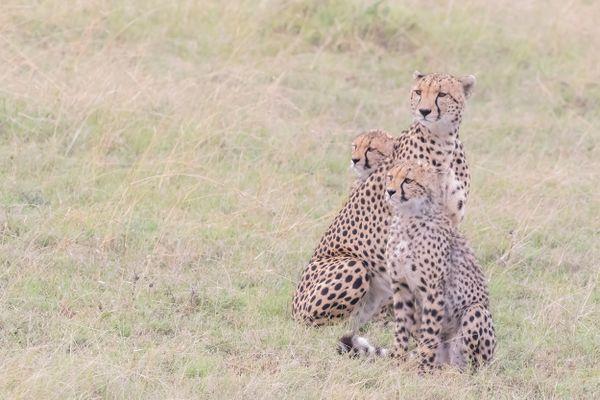 Cheetah Family on Alert thumbnail
