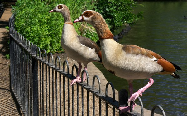 Two Egyptian Geese on a Fence in Peckham Rye Park, in London thumbnail