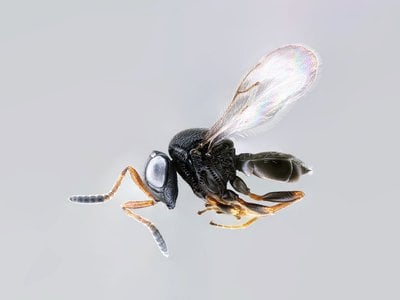 The parasitoid samurai wasp, Trissolcus japonicus, is one of many microscopic wasps being studied and sometimes used as biocontrol agents in the fight against invasive species. (Elijah Talamas, USDA)