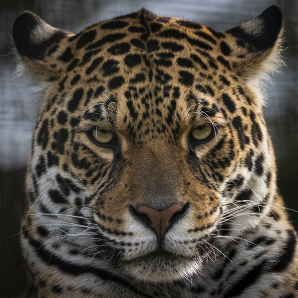 Jaguar Stare thumbnail