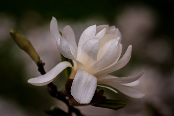 Star Magnolia 2020 thumbnail