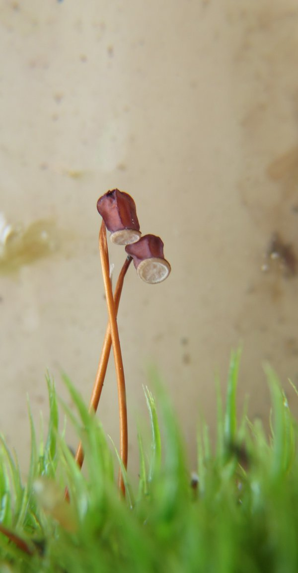 Sporophytes thumbnail